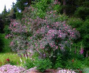 Zwergflieder Auf Stamm : rosa glauca google keres s domokos roz lia pinterest ~ Lizthompson.info Haus und Dekorationen