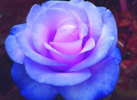 A Cool Looking Rose  Rainbow Of Roses Pinterest