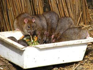 comment tuer les rats dans la maison condexatedenbay