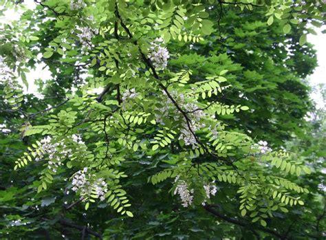 locust tree shademaster locust trees retailers wyoming locust trees