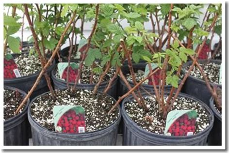 can raspberries be grown in containers fruit plants strawberry rhubarb gooseberry and 2 types of blueberry