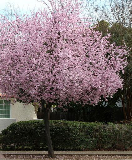 early flowering trees pin by donna dyckman on gardens pinterest