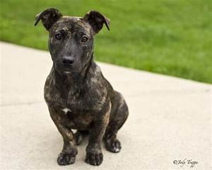 Bella | She's a fourteen week old pit bull/dachshund mix ...