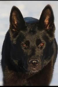 Black German shepherd | Favorite Dog breeds | Pinterest