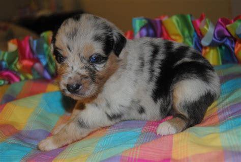 shamrock rose aussies scroll    puppies