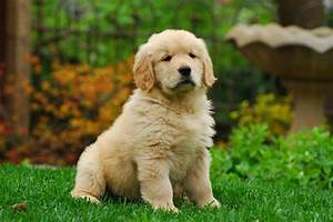 all you need to about golden retriever puppies
