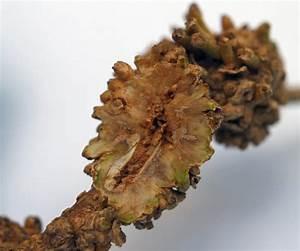 Wucherungen An Pflanzen : pflanzengallen ~ Buech-reservation.com Haus und Dekorationen