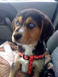 Akimbo our Beagle-husky   Pups & others   Pinterest ...