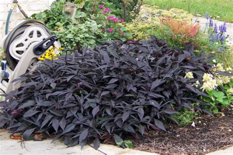 black leaved plants offer contrast in the garden with dark foliage plants blog nurserylive com gardening in india