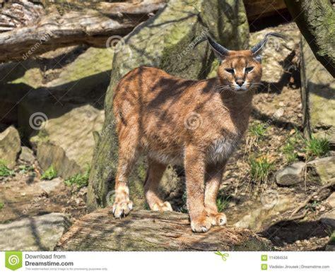 agile cat caracal very