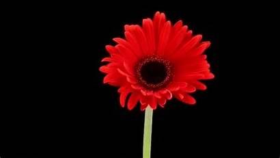 Flores Abriendose Hermosas Lapse Html5 Compatible Required