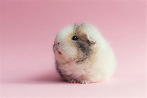 cutest guinea pigs  guaranteed   money
