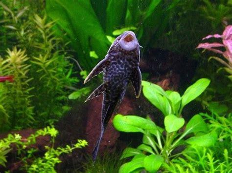 Are Tilapia Fish Bottom Feeders?