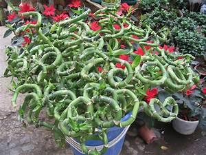 Bambou A Planter : lucky bambou planter et entretenir ooreka ~ Premium-room.com Idées de Décoration