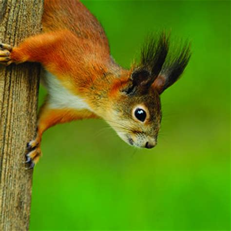 red squirrel catseye pest control