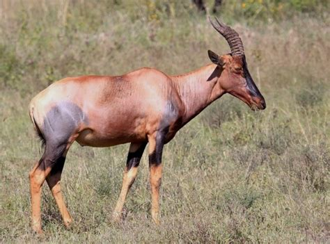 topi the antelope with tanlines brian hson