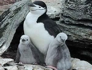 Spectacular Animals - Penguins