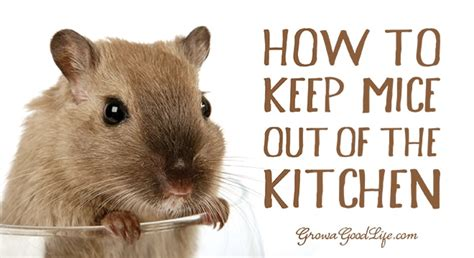 Mouse In Kitchen What To Do by How To Keep Mice Out Of Your Kitchen