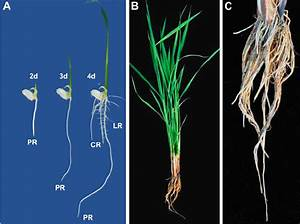 1 Rice Root System    A   Morphology Of The Rice Seedling