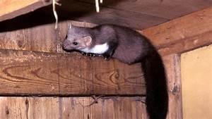 Tiere Vertreiben Ultraschall : marder im haus vertreiben steinmarder aus dem dachboden ~ Articles-book.com Haus und Dekorationen