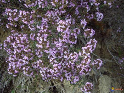 fleur de thym cuisine photo fleur de thym