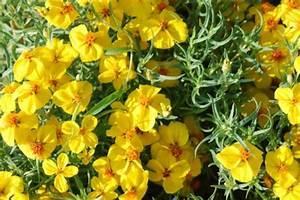 Gelbe Stellen Im Rasen : gro e designpflanze die zinnie im garten erhellt trocken flecken ~ Markanthonyermac.com Haus und Dekorationen