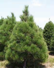 Christmas Tree Red Pine