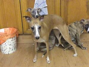 Whippet Puppies for sale | Kings Lynn, Norfolk | Pets4Homes