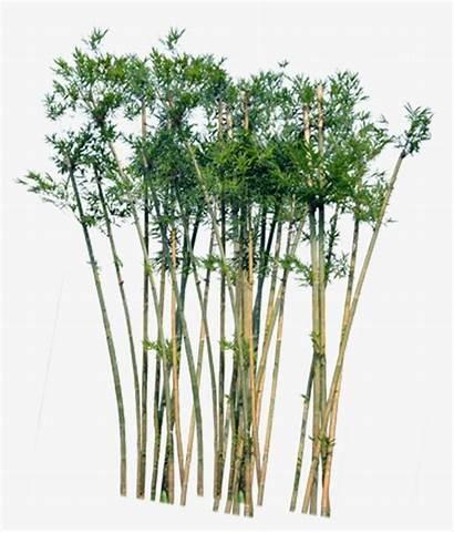 Bamboo Tree Lucky Houseplant Plant Background Garden