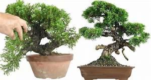Chinesischer Wacholder Bonsai : wacholder bonsai pflege ~ Sanjose-hotels-ca.com Haus und Dekorationen
