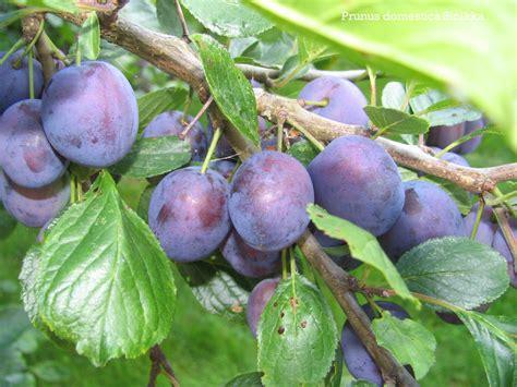 Prunus Domestica (garden Plum