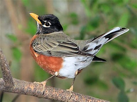 male american robin looks like he s doin a dance birds