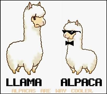 Llama Alpaca Clipart Cartoon Alpacas Funny Llamas