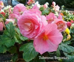 care of begonia plant begonia plants for hanging baskets