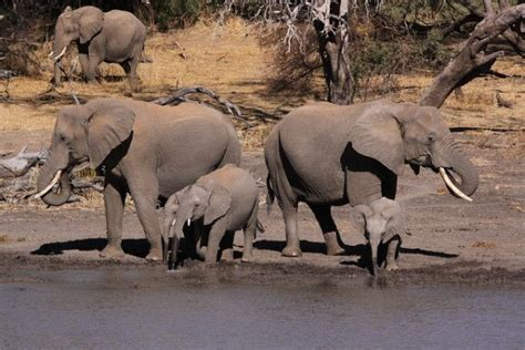 Interesting Facts About Africa African Elephants