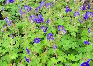 Blühende Stauden Winterhart : blau bl hende rosenbegleitstauden ~ Buech-reservation.com Haus und Dekorationen
