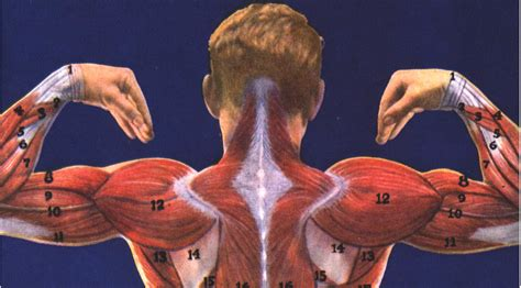 Almost every muscle constitutes one part of a pair of identical bilateral muscles, found on both sides, resulting in approximately 320 pairs of muscles. Antagonist Placeholder