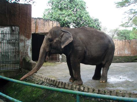 manila zoo mali elephant zoos elephants animals suffering expert says peta why belong