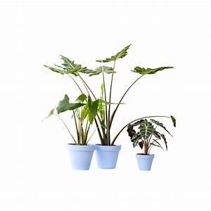 Plantes Et Jardin : alocasia tiger plantes et jardins ~ Melissatoandfro.com Idées de Décoration