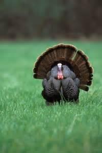 cnb huntingfishing maryland news spring turkey hunts