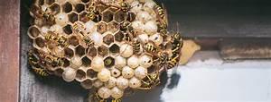 Was Essen Wespen : alles was sie ber wespennester wissen m ssen attensam ~ Frokenaadalensverden.com Haus und Dekorationen