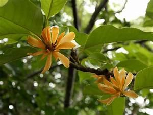 Magnolia Champaca  Champak