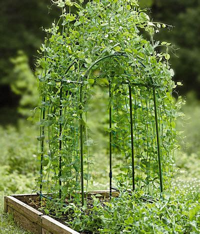 How To Grow Peas  Greenmylife  Anyone Can Garden