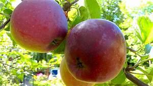 Großen Apfelbaum Kaufen : apfel gartennatur ~ Lizthompson.info Haus und Dekorationen