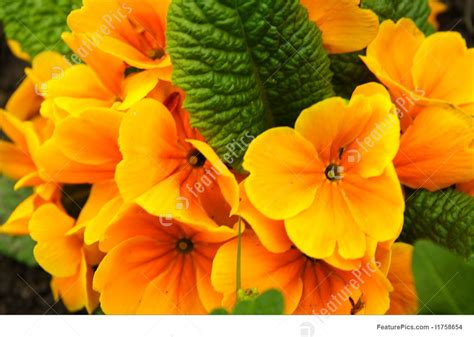 Orange Primula Flowers Image