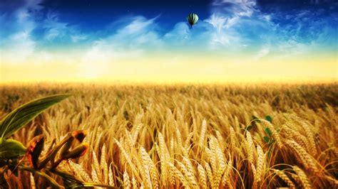 cornfield hd wallpaper background image  id