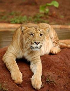 Best Big Cat Cross Breeds Images Cats Tigers