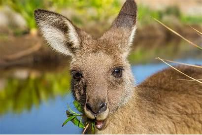 Kangaroo Eat Kangaroos Australia Animals Australian Spirit