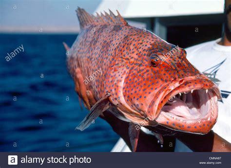 teeth fish grouper sharp scary coral huge reddish alamy skin shopping cart
