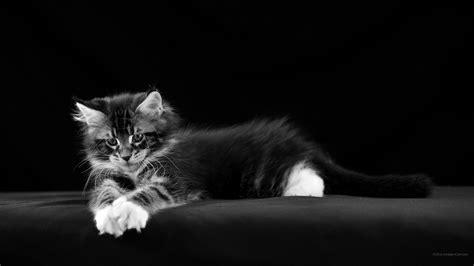 bureau pour ordinateur 2560 x 1440 noir et blanc fonds d 39 écran gratuits chats